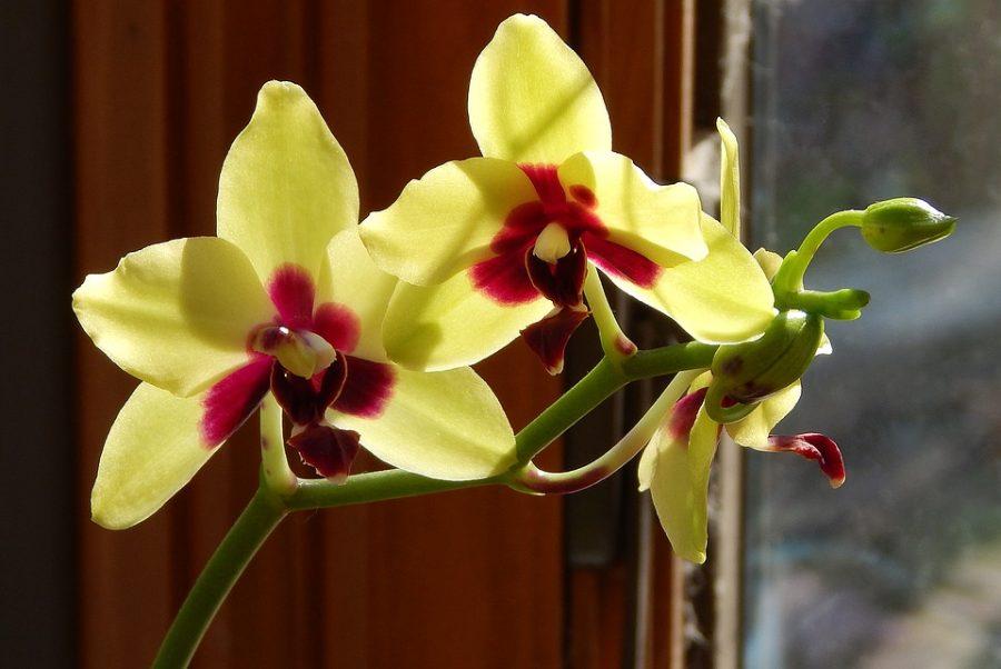 orquídeasPhalaenopsis